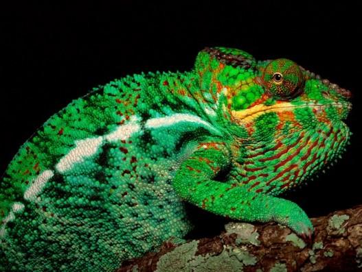 Chameleon_Madagascar