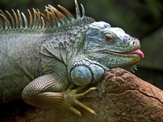 Iguana Brasil BANITA TOUR
