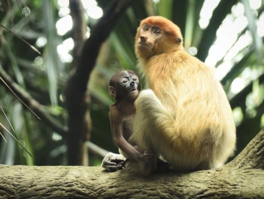 Roboscis monkeys during the feeding time, national park in Borneo Garama Park Banita Tour