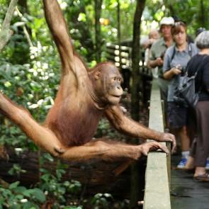 Sepilok Malaysia Asia Orangutans Rehabilitation Center Banita Tour