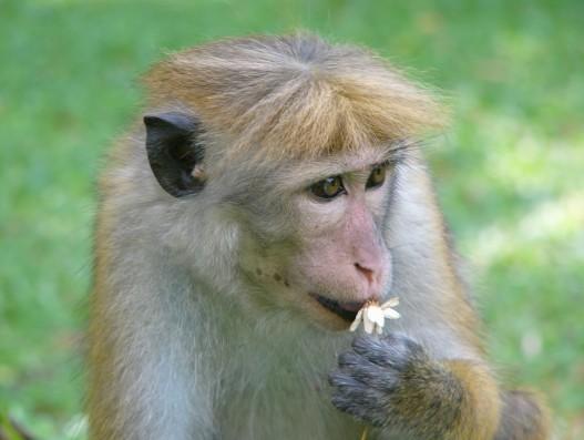Sri Lanka National Park Monkey