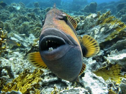 Ko Lipe Diving - Titan triggerfish Asia Thailand Banita Tour