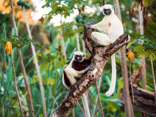 humansafari human safari travel madagascar trip africa forest african animals sloth monkey chimp maki maki lemur lemurien lemuria park  Banita tour