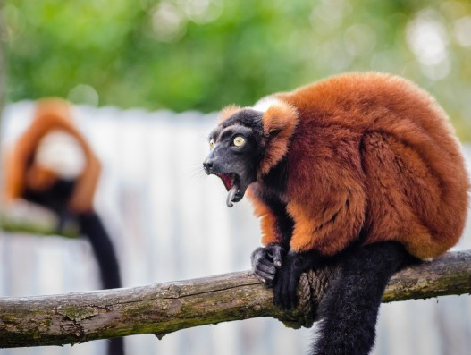 red ruffed lemur, wildlife, madagascar, nature, portrait, looking, exotic, rainforest, primate, mammal, fur, branch, perched,   Banita tour
